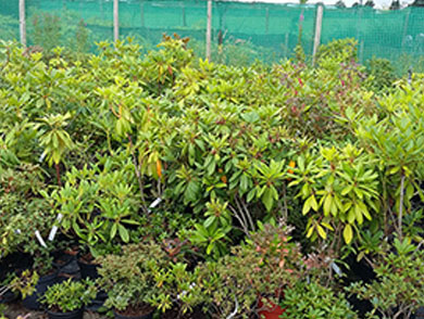 Stock of Rhododendrons